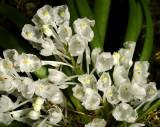 Podangis dactylorhiza, individual flowers about 1 cm