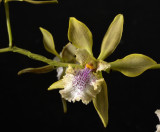 Gallery  Epidendrum, Encyclia, Hormidium and Prosthechea orchids