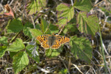Kleine parelmoer, Issoria lathonia