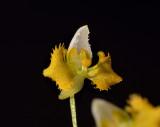 Zygostatus lunata, 4 mm