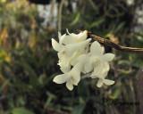 Dendrobium sp.  Birma