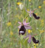 Ophrys bertolonii