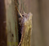 Kamille vlinder