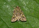 Melde vlinder