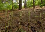 Goodyera repens, habitat