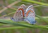 Heideblauwtjes, paring