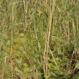 Veenmosorchis, nauwelijks zichbaar tussen riet, gras en haarmos