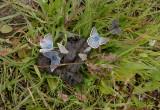 Blauwtjes drinken niet alleen op bloemen...