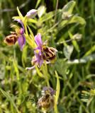 Ophrys homeri