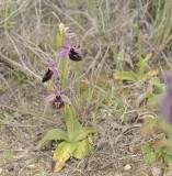 Ophrys ferrum-equinum ssp labiosa