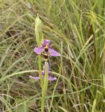 Ophrys heldreichii var. calypsus