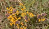 6 rodelijstvlinders op 1 plant, Aricia agestis