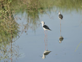 Steltkluut, black-winged stilt male