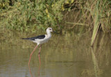 Steltkluut, black-winged stilt female