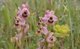 Ophrys tenthredinifera var. grandiflora