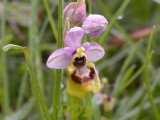 Ophrys tenthredinifera var. neglecta