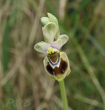 Ophrys villosa