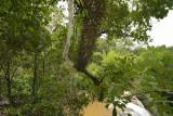 Downstairs, Bulbophyllum longibracteatum orchids on the tree
