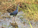 Porphyrio poliocephalus, Grey-headed swamphen