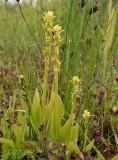 Groenknolorchis, Liparis loeselii