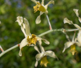Dendrobium venustum