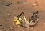 Urine vlinders