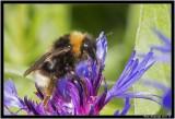 Bee Corn flower.jpg