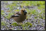 Hawfinch.jpg