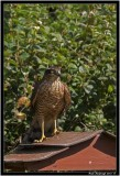 sparrowhawk pb.jpg