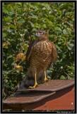 sparrowhawk2pb.jpg