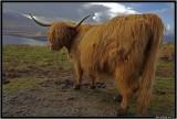 Highland coo 2.jpg