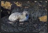 Grey Seal.jpg