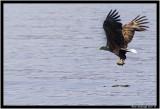 White Tailed Eagle.jpg