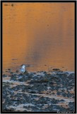 loch na keal Common Gull.jpg