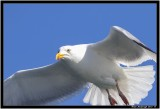 Herring Gull.jpg
