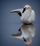 Swan Yoga