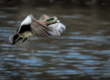 Widgeon take off