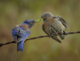 Bluebird tug of worm