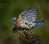 Bluebird acrobat