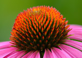 Coneflower Head
