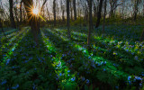 Knoch Knolls Bluebell Sunrise