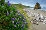 Lupine & Sea Stack