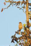 Siberian Jay - Taigagaai - Perisoreus infaustus