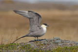 Long-tailed Jaeger (Skua) - Kleinste Jager - Stercorarius longicaudus