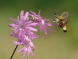 Glasvleugelpijlstaart - Broad-bordered Bee Hawk-moth - Hemaris fuciformis