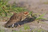 Dwerggors / Little Bunting