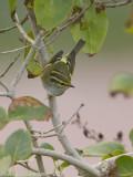 Pallas' Boszanger / Pallas's Warbler