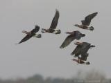 Roodhalsgans - Red-breasted Goose - Branta ruficollis