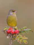 Groenling / European Greenfinch