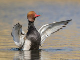Krooneend / Red-crested Pochard